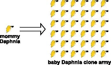 daphnia clone army
