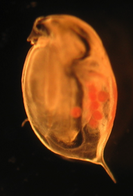 Figure 1: The gut is filled with a black material, which are carbon nanoparticles. The orange globs are Daphnia babies.