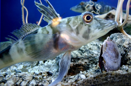 The Antarctic icefish – Almost certainly unexcited by the prospect of eating ice cream