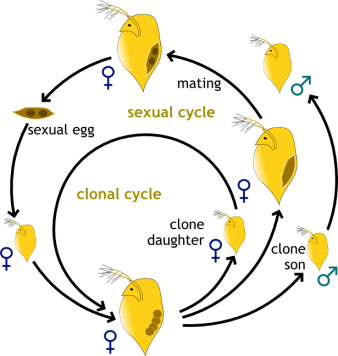 "Figure 4:  Daphnia reproduction patterns.  Inner cycle refers to clonal reproduction where adult female daphnids produce exact clones of themselves. Outer circle describes the switch to sexual reproduction – where females produce clonal (parthenogenetic) sons, who then fertilize a sexual egg that hatches after a period of ""hibernation."""