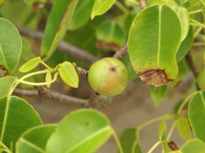 The manchineel tree with the little apple of death. Image source.