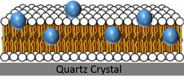 nanoparticles lipid bilayer quartz crystal