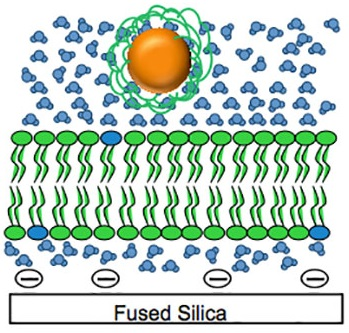 An illustration of what the lipid bilayers, representative of cellular membranes, look like in a constructed cell, supported by silica. Northwetern researchers are looking at how gold nanoparticles  interact with cells.