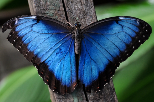 2 - blue morpho butterfly