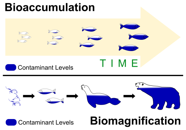 3 Bioaccumulation vs Biomagnification