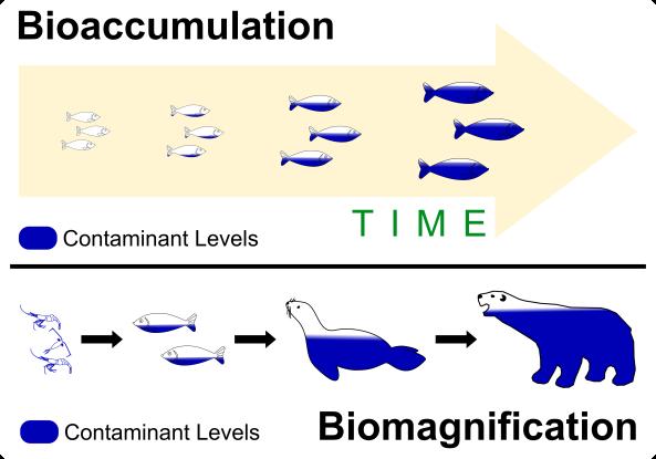 3 Bioaccumulation vs Biomagnification