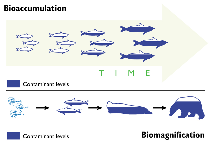 diagram of bioaccumulation and biomagnification