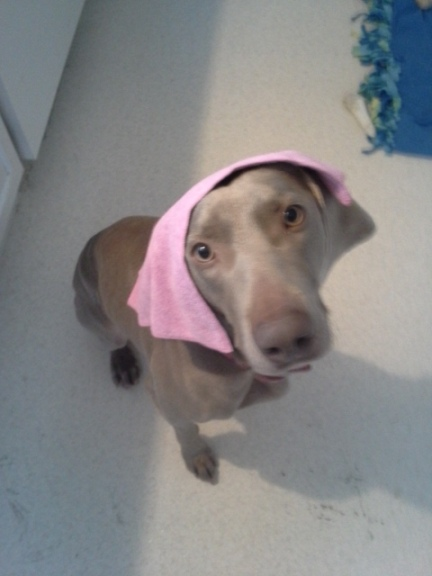The cloth that shook the foundation of my cleaning world, as modeled by my mischievous pooch, Bristol.