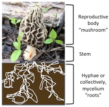 4 - fungus diagram hyphae mycelium roots