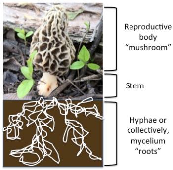 4 - fungus diagram hyphae mycelium roots
