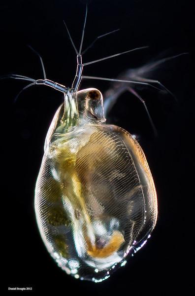 Simocephalus vetulus, a species of water flea. Image via microworldsphotography.