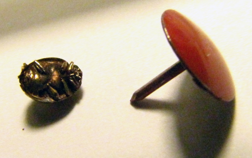 Ladybug, with thumbtack for scale