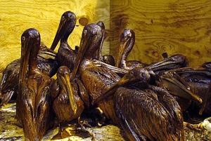 oilspill-birds