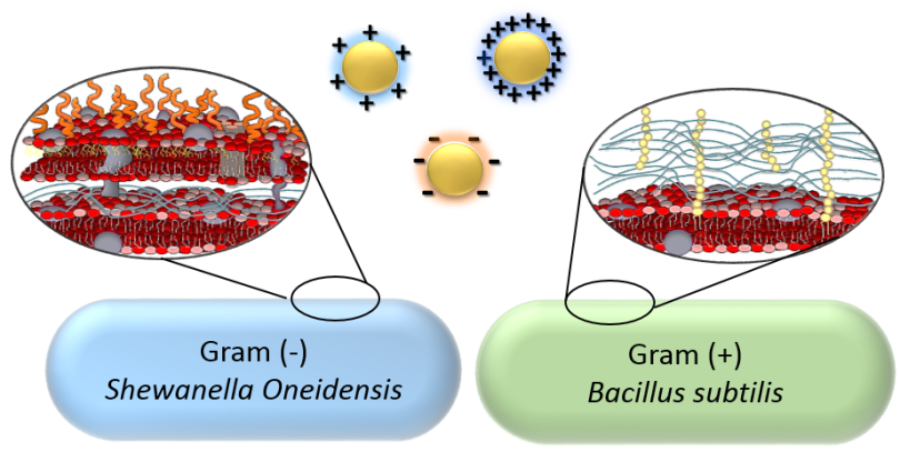 cell membranes & nanoparticles
