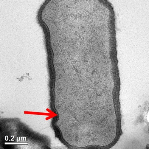 bacteria cell with membrane