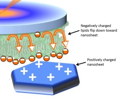 cartoon of negatively-charged lipids moving toward positively-charged nanosheet