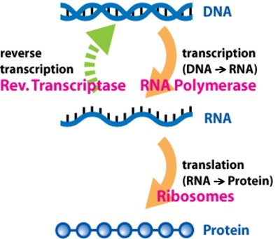 DNA transcription to RNA and RNA translation to proteins