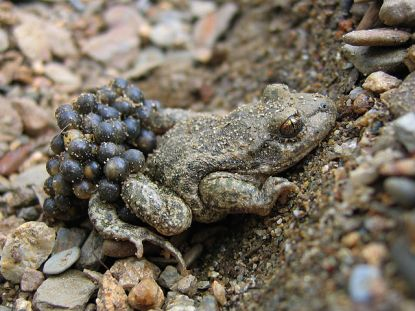toad with eggs