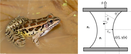 frog & capillary bridge