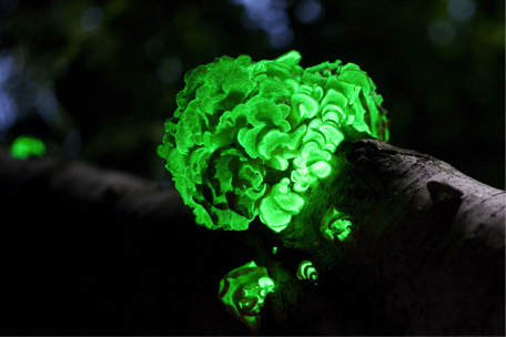 glowing fungus