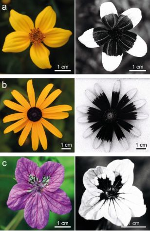UV pigments are helpful in attracting pollinators and defending against insects