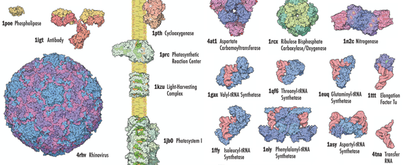 Pictured is proteins with varying size including phospholipase, antibody, rhinovirus, cyclooxygenase, photosynthetic reaction center, light-harvesting complex, photosystem 1, asparate carbamolytransferase, valyl-tRNA synthetase, isoleucyl-tRNA sythetase, ribulose bisphosphate carboxylase/oxygenase, nitrogenase, threonyl-tRNA synthetase, phenylalanyl-tRNA synthetase, aspartyl-tRNA synthetase, transfer RNA, glutaminyl-tRNA sythetase, and the elongation factor tu.
