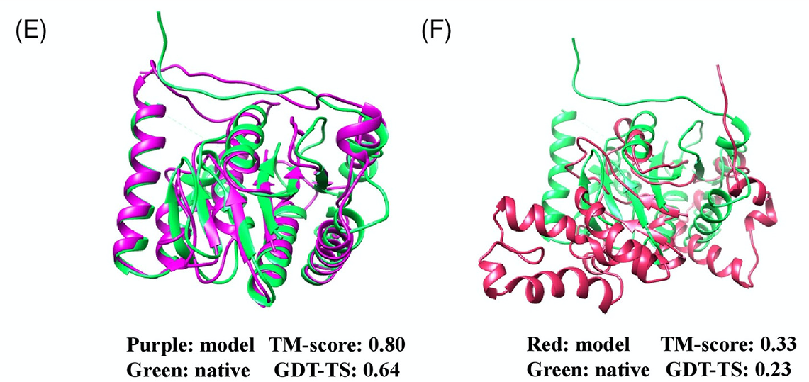Pictured is 2 proteins. The protein on the left has the purple protein portraying the model and the green representing the native. This protein has a TM score 0.8 and GDT-TS: 0.64. The protein on the right has the red color representing the model and the green the native. This has a TM-score of 0.33 and a GDT-TS of 0.23.